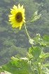 dalian-yellow.sunflower-on.hill.jpg