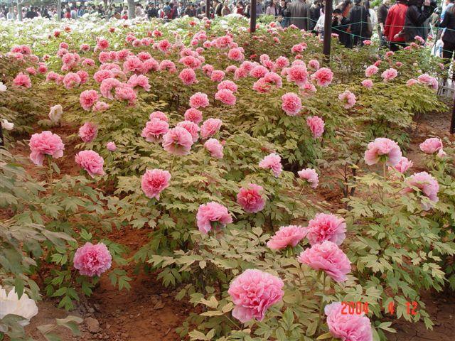 luoyang-red.peony-garden.jpg