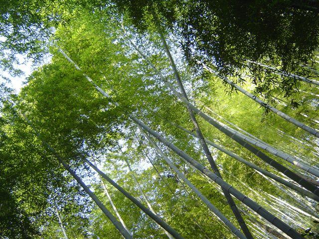 linan-bamboo-many.jpg