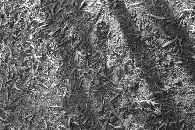 linan-grand-leafs.jpg