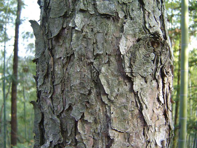 linan-tree-old.jpg