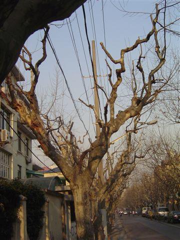 shanghai-platanaceae-street.jpg