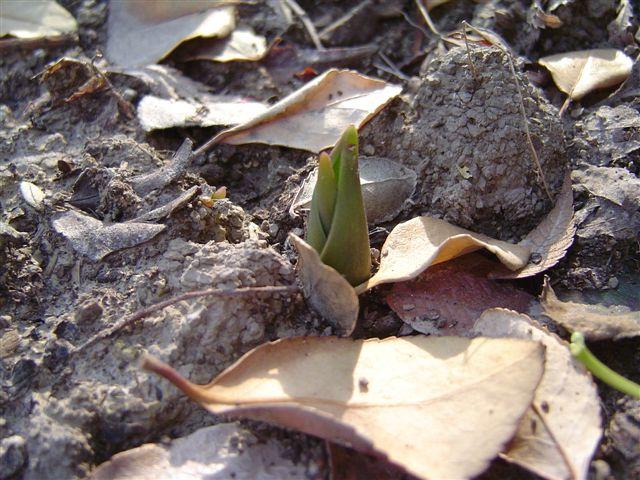 shanghai-tulip-3.jpg