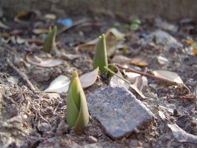 shanghai-tulip-4.jpg