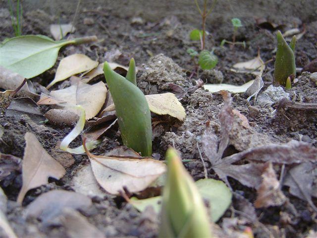 shanghai-tulip-5.jpg